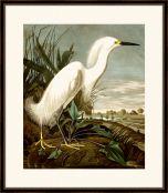 Audubon's Snowy Heron II