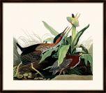 Audubon's Green Heron II