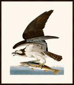 Audubon's Fish Hawk or Osprey II