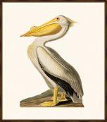 Audubon's White Pelican
