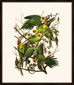 Audubon's Carolina Parrot II