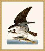 Audubon's Fish Hawk or Osprey in Gold