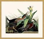 Audubon's Green Heron in Gold